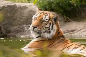 Tiger soaking in pond